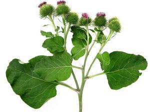 5 plante care combat durerile de articulaţii