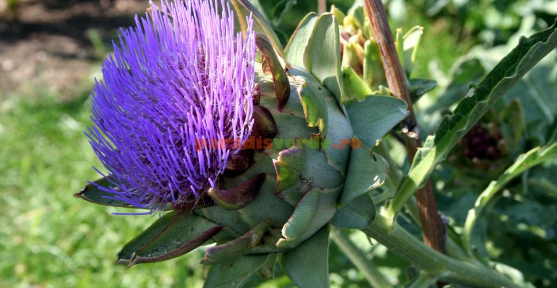 Ierusalimul - compoziție, proprietăți benefice ale florilor și frunzelor, contraindicații - Ceai