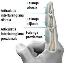 articulații în apropierea degetului mic)