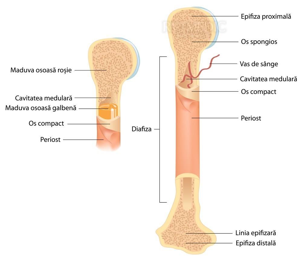regenerarea țesutului osos și cartilaj)