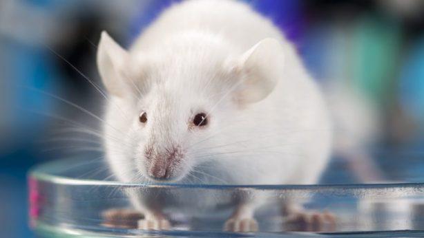 cum să tratezi o articulație dacă șoarecii