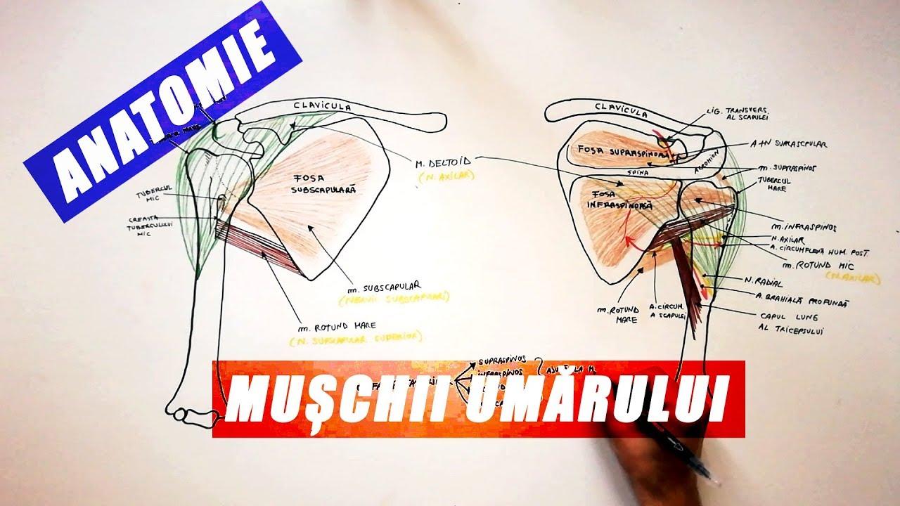 deteriorarea manșetei rotative a articulației umărului