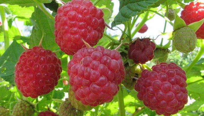 fructe sudice pentru tratament comun)