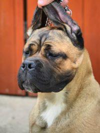Cane corso si boala articulara