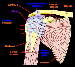 braț dureros în articulațiile umărului