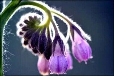 cele mai bune plante medicinale pentru tratamentul articulațiilor)