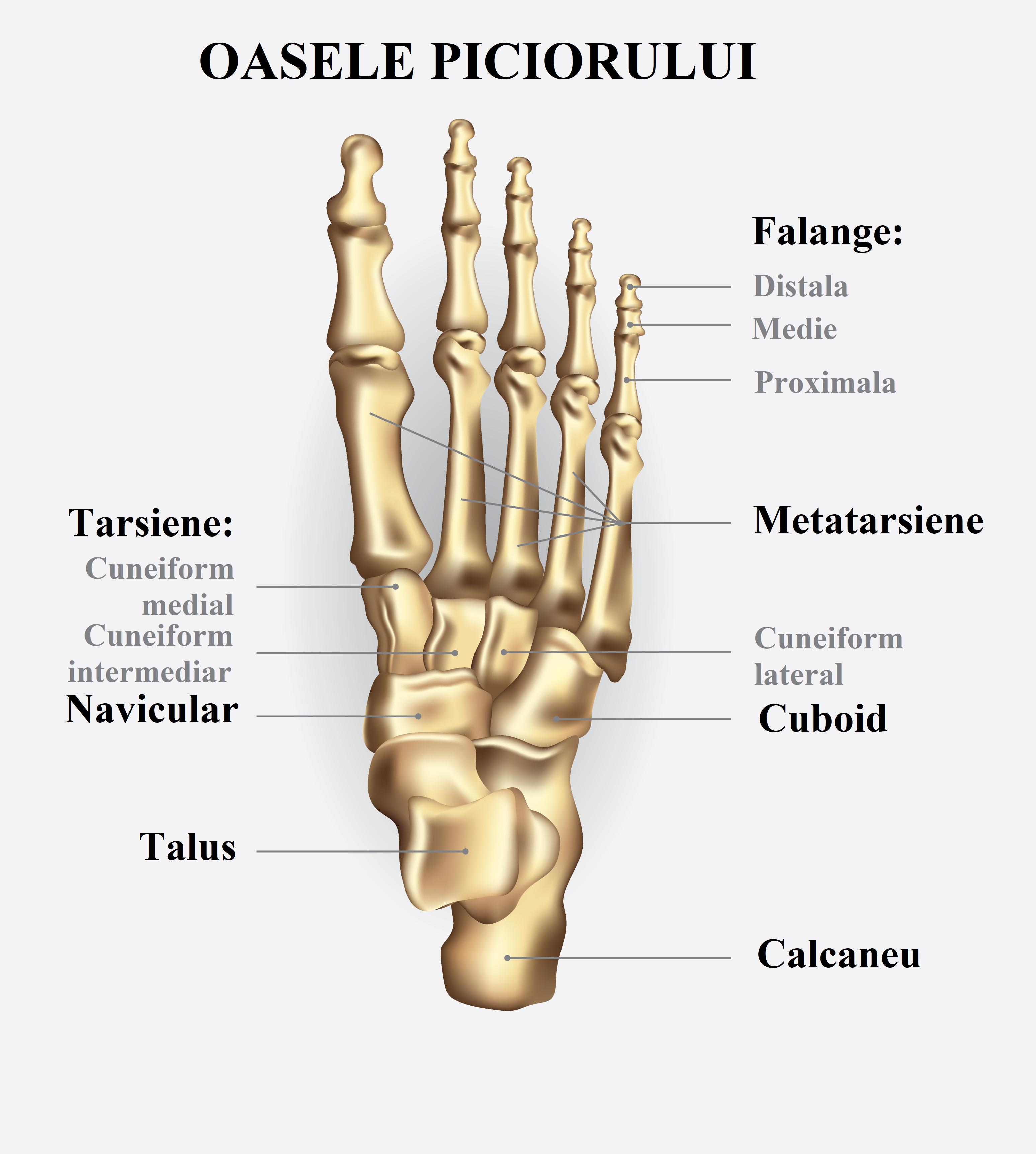 Picior (anatomie) - Wikipedia