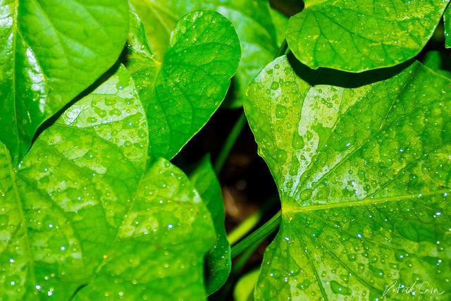 frunze și articulații dureroase)
