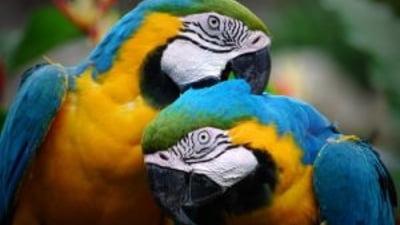 inflamație articulară într un papagal)