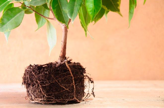 tratament articular cu frunze de ficus