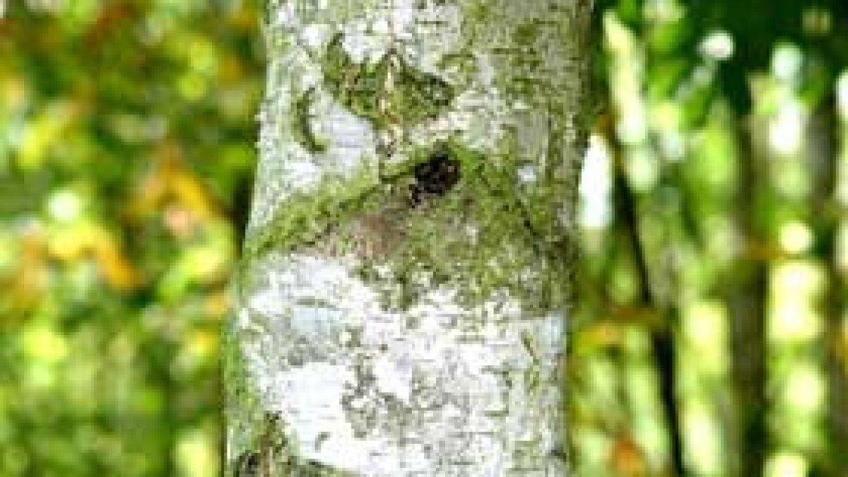 Mesteacănul, un arbore vindecător