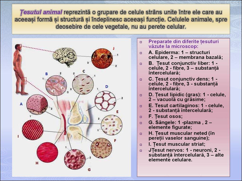 cartilajul este reprezentat de țesutul conjunctiv
